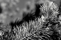 Growth Tip, Lodgepole Pine